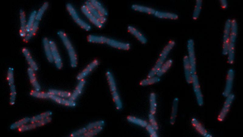 Zum Zeitpunkt der Aufnahme lebende E. coli-Bakterien, in denen einzelne Proteine und Proteinkomplexe mit unterschiedlich fluoreszenzierenden Reporterproteinen markiert sind.