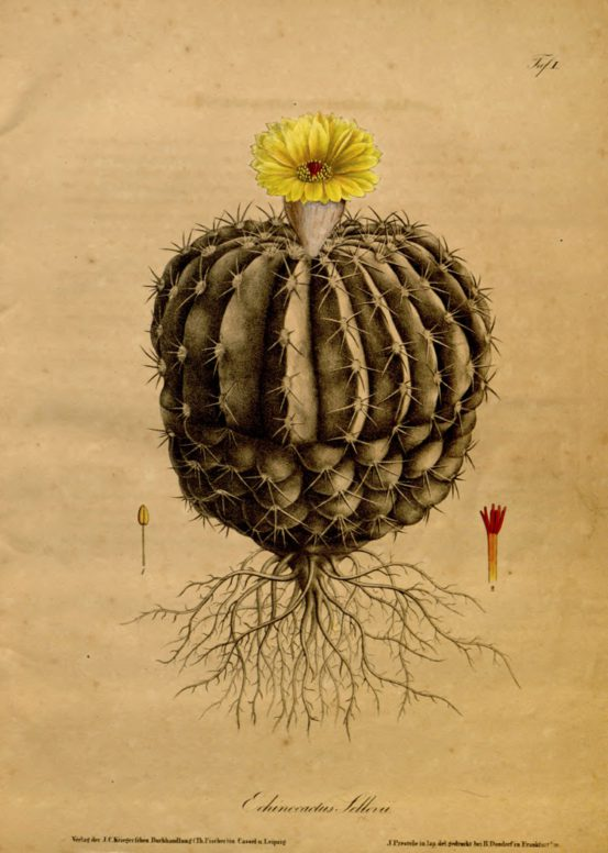 Illustration aus Carl von Linné, Systema Naturae