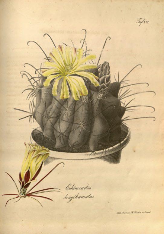Illustration aus Carl von Linné, Systema Naturae