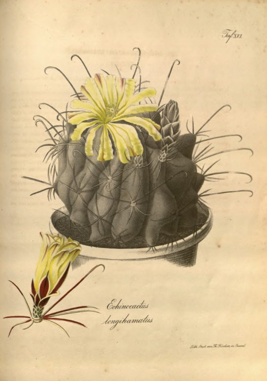 Illustration from Carl von Linné, Systema Naturae
